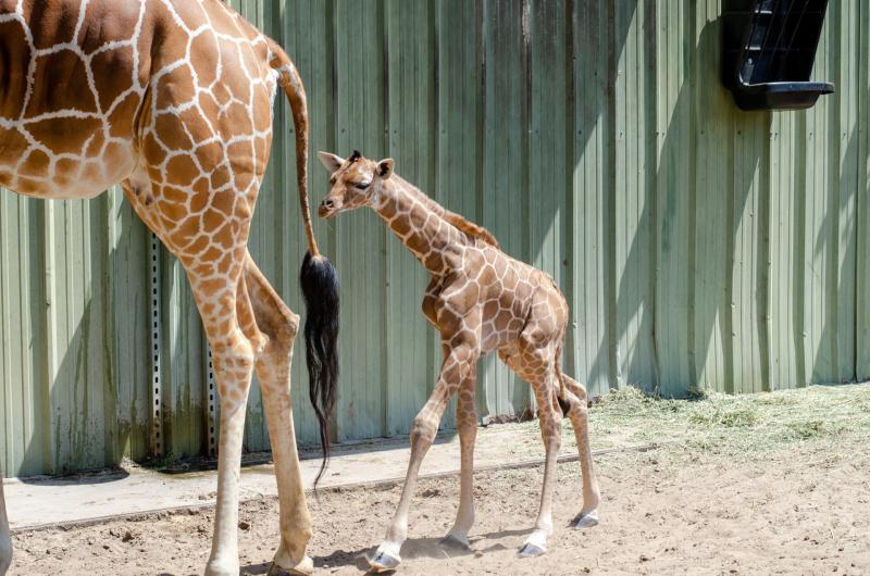 8_20190515_Giraffe_Newborn07