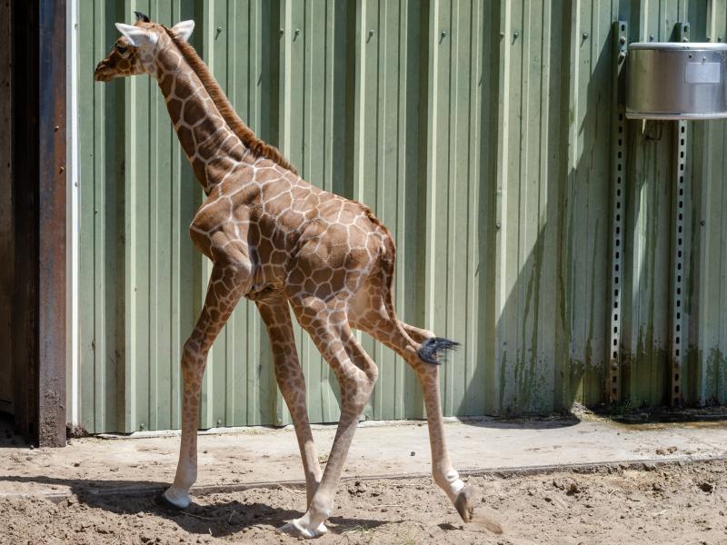 9_20190515_Giraffe_Newborn08