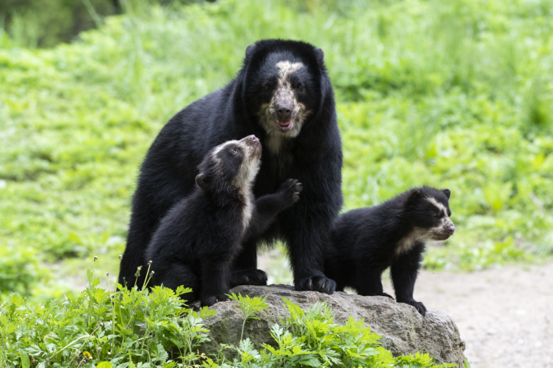 4_Julie Larsen Maher_9281_Andean Bear and Cubs_QZ_05 10 19