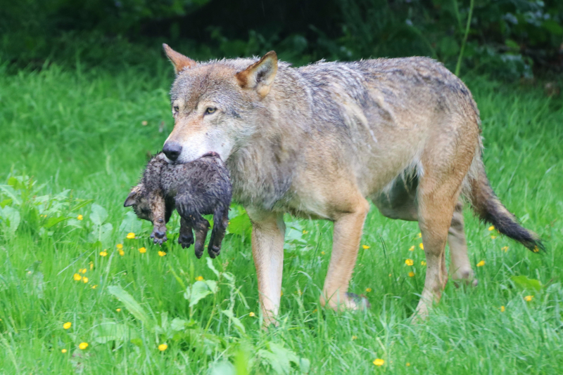 Mum Eliska with wolf pup at Longleat close up PIC Longleat