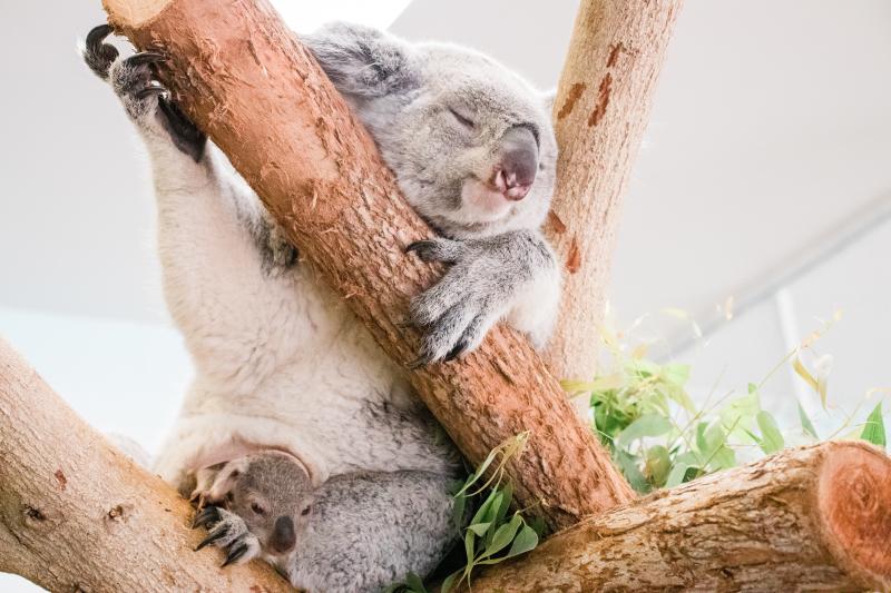 2_koala-8