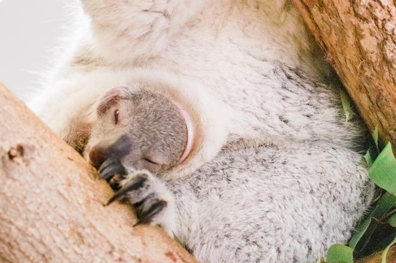 4_koala-6