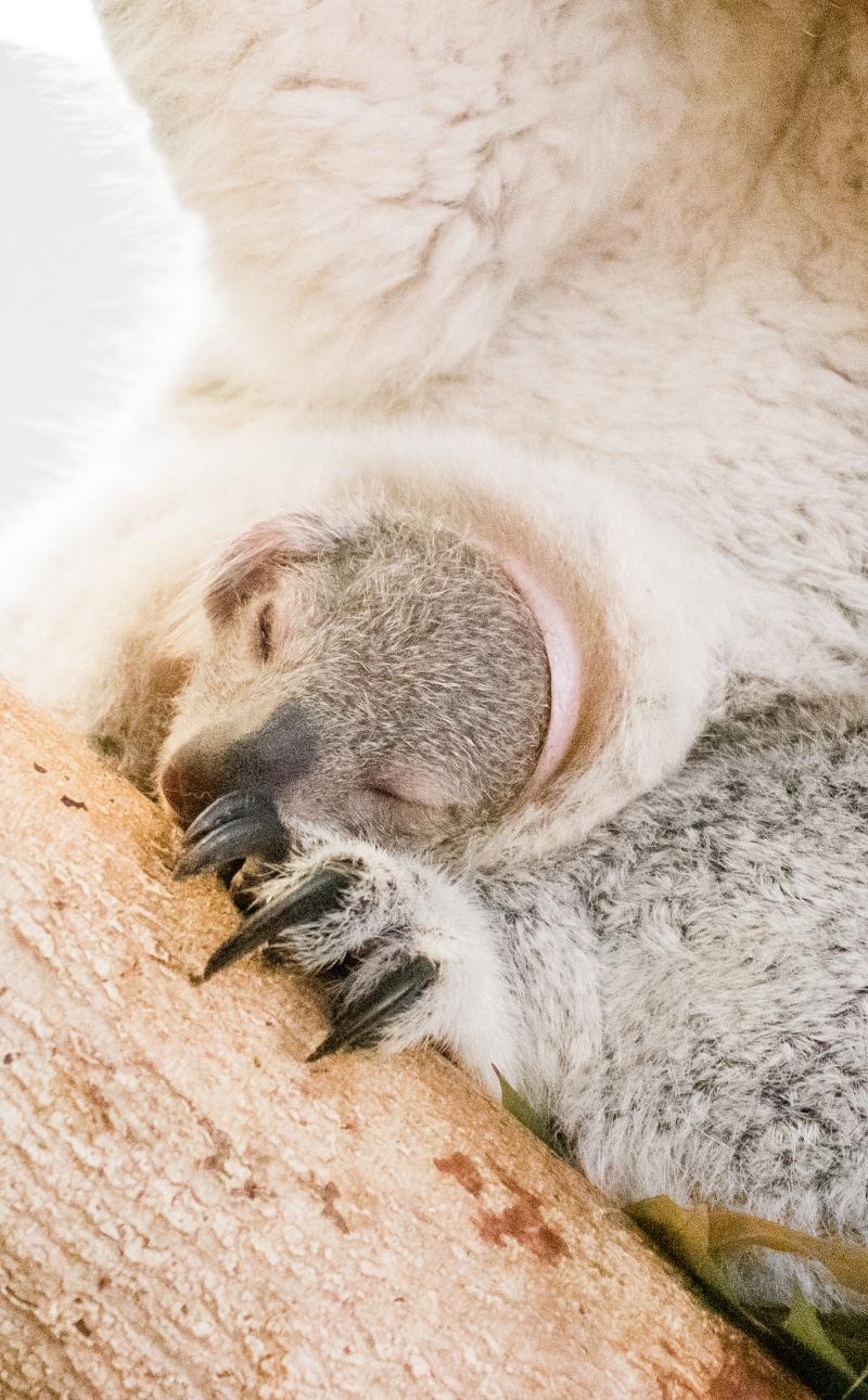 7_koala-4