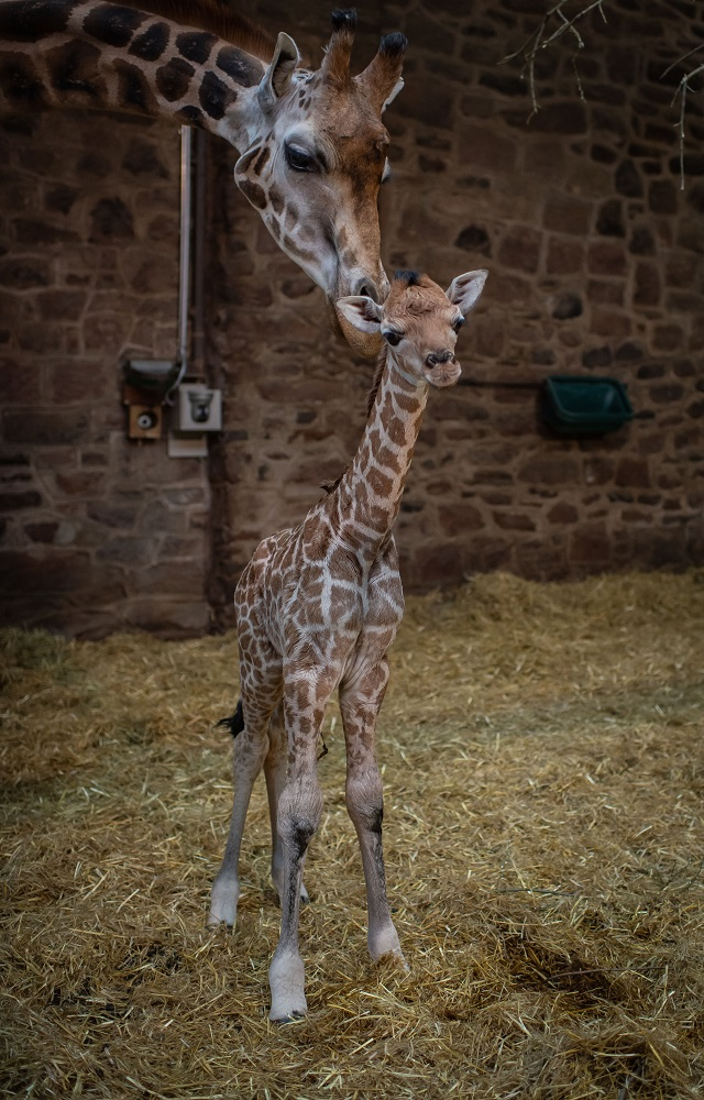2_Rare giraffe calf born at Chester Zoo (1)