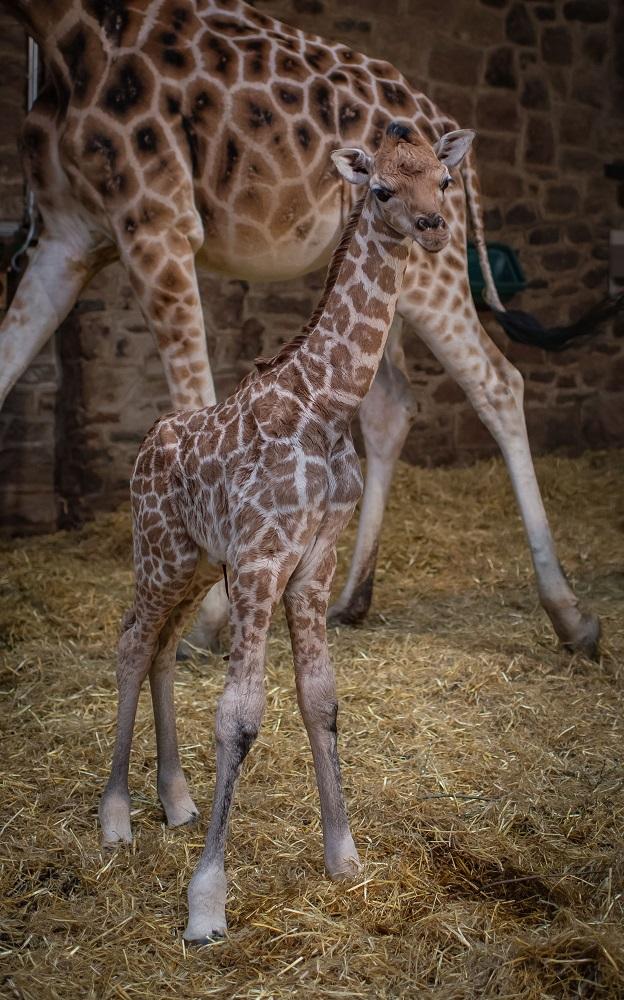 3_Rare giraffe calf born at Chester Zoo (22)