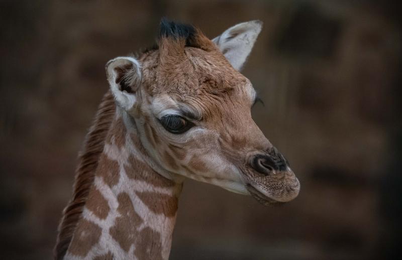 6_Rare giraffe calf born at Chester Zoo (21)