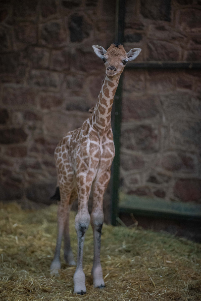 8_Rare giraffe calf born at Chester Zoo (14)