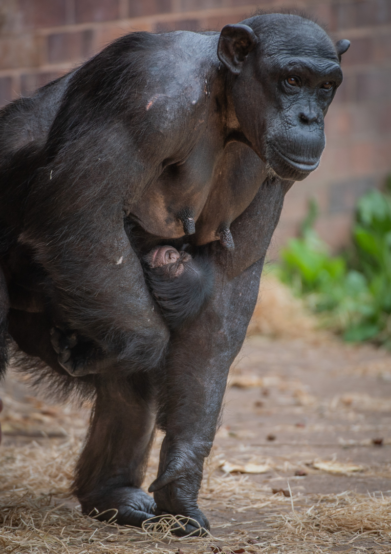 8_Rare chimpanzee born in front of astonished visitors at Chester Zoo arrives to mum Alice (5)