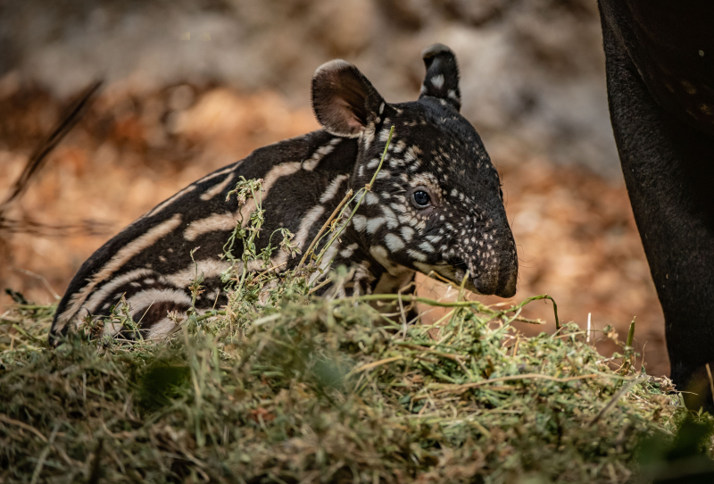 1_Chester Zoo gives a first glimpse of its super-cute new baby tapir  (38)