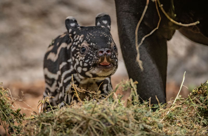 3_Chester Zoo gives a first glimpse of its super-cute new baby tapir  (64)