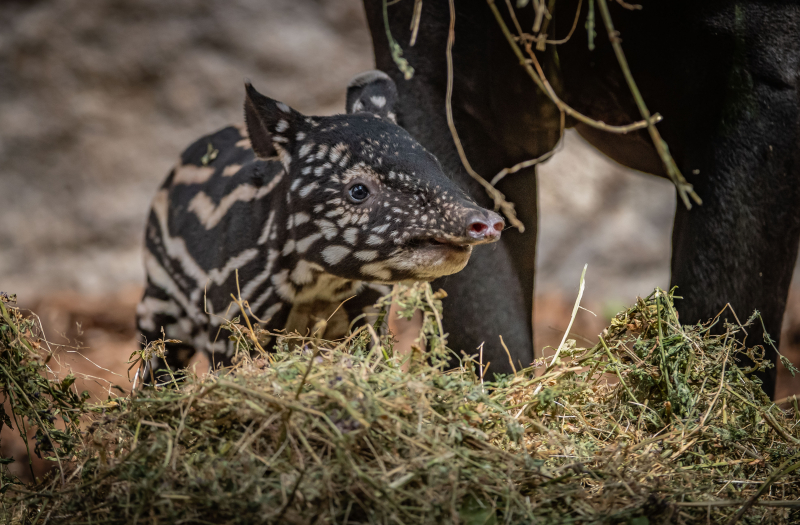 5_Chester Zoo gives a first glimpse of its super-cute new baby tapir  (67)