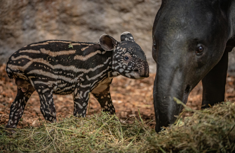 6_Chester Zoo gives a first glimpse of its super-cute new baby tapir  (63)