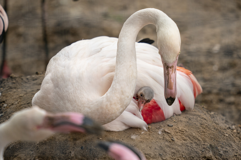 10_Credit Marwell Zoo - Greater Flamingo chick 4