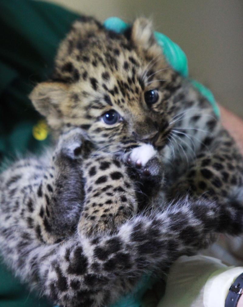 Female amur leopard cub 7-31-19