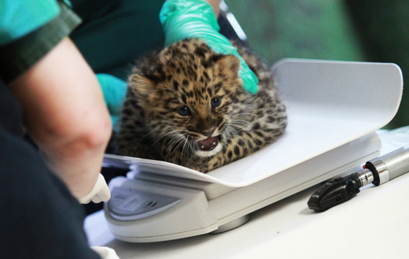 Amur leopard male getting weighed cropped