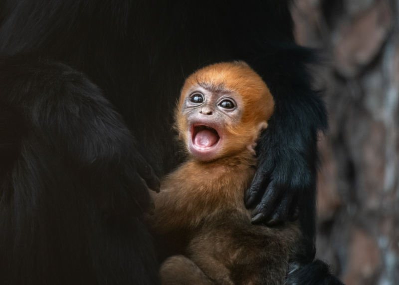 Francois Langur Baby Female Cry JEP_0074-2