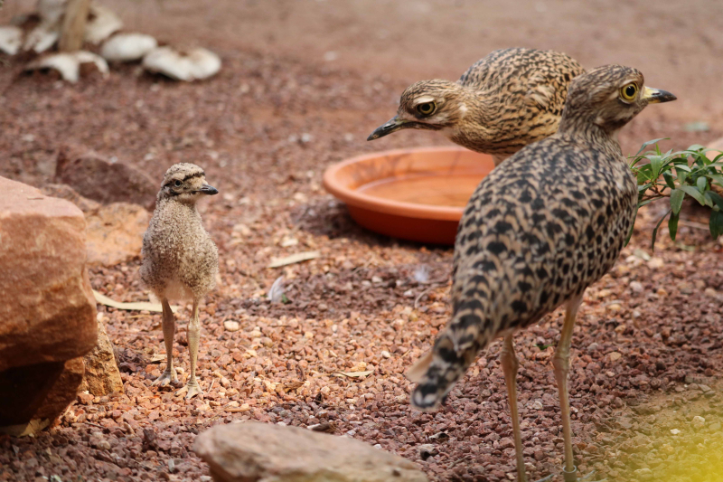 2_Cape Thick-Knee chick with parents at Omaha's Zoo and Aquarium
