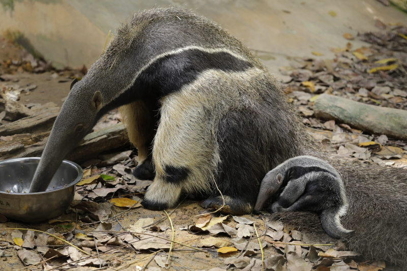 WRS_RS_Img 3_giant_anteater_pup