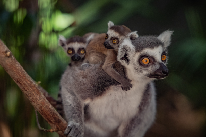 The first baby black lemur ever born at Chester Zoo (7)