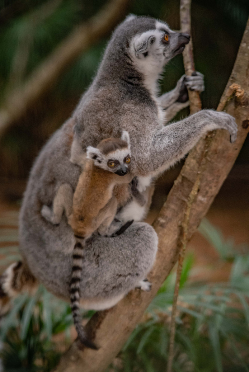 ! The first ring-tailed lemurs born in Chester Zoo's new Madagascar zone cling onto their mums  (24)