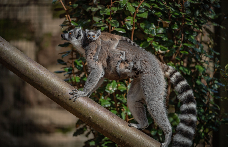 The first baby black lemur ever born at Chester Zoo (1)