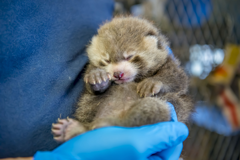 3_Red Panda Baby 06-2019-4280 E (3 weeks)