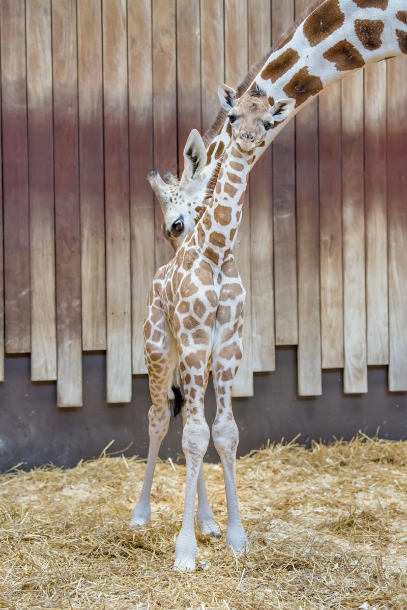 Giraffe Baby 07-2019-5203 E
