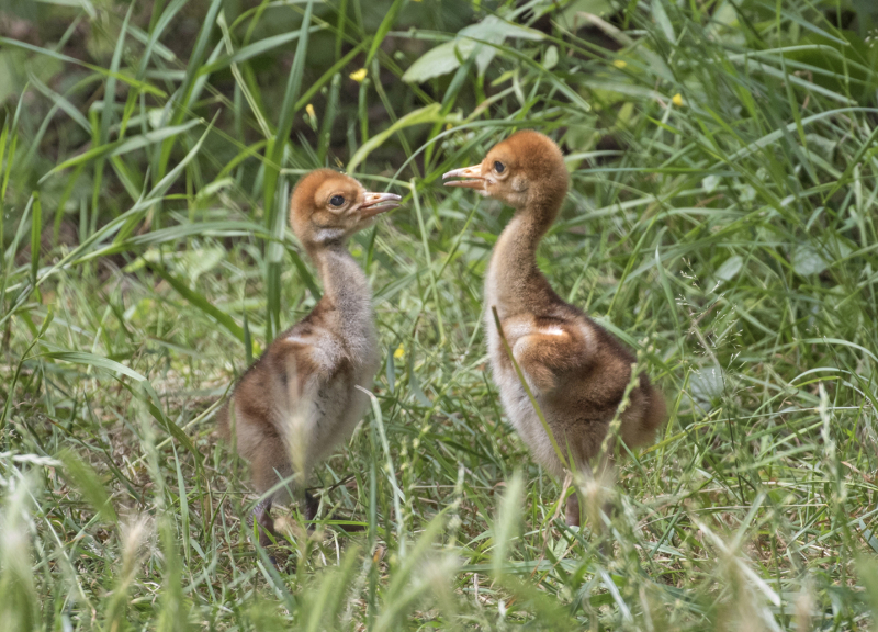 2_DDow_July 12 2019_both chicks small closeup