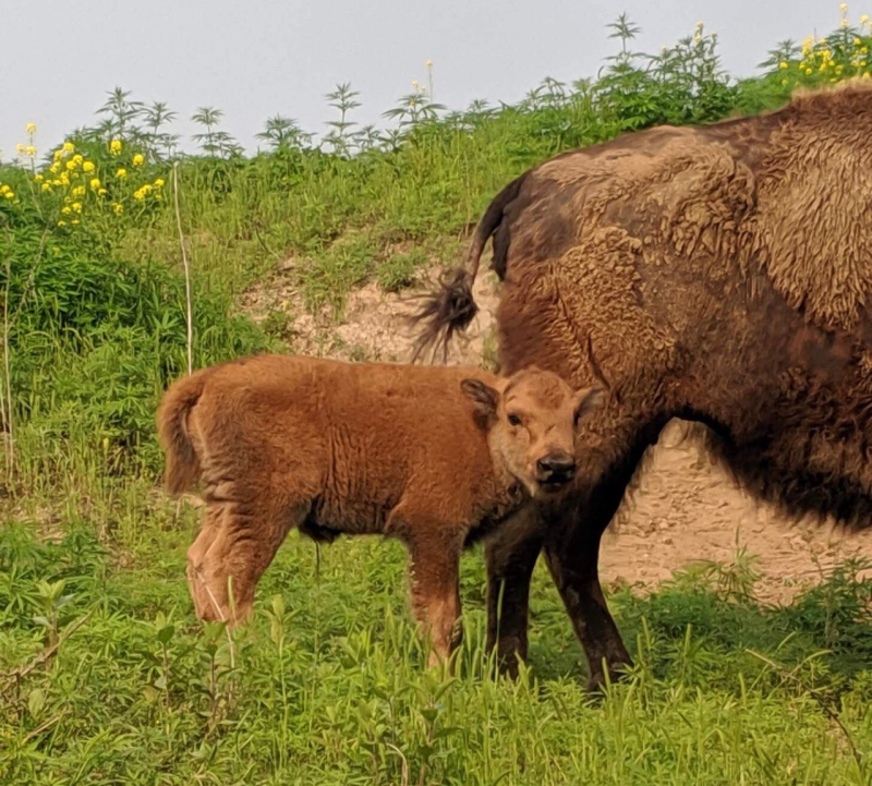 1_Bison calf with mother at Wildlife Safari Park (2)