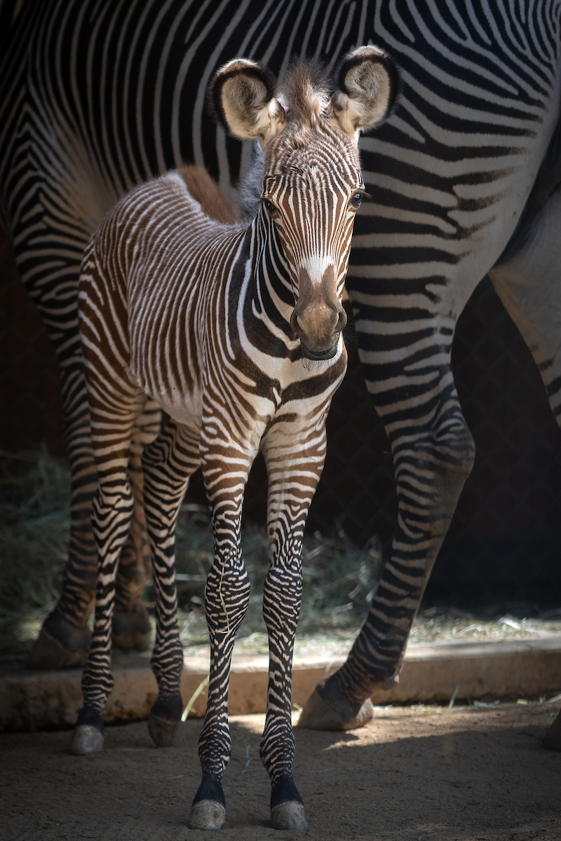 9 Grevy's Zebra Foal  Photo by Jamie Pham