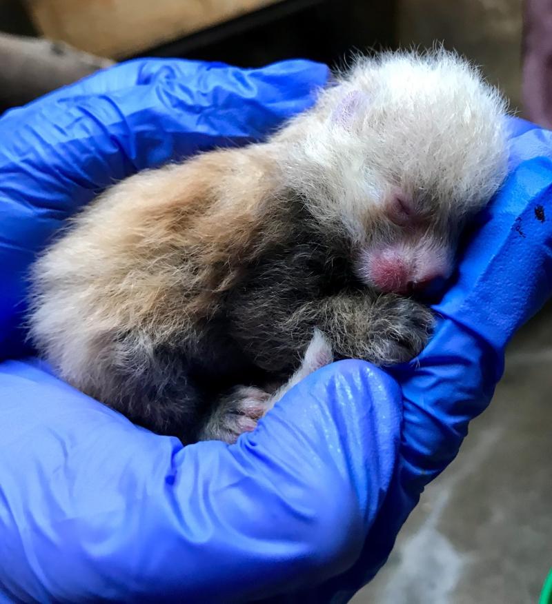 2_KCZoo Red Panda Cub 2