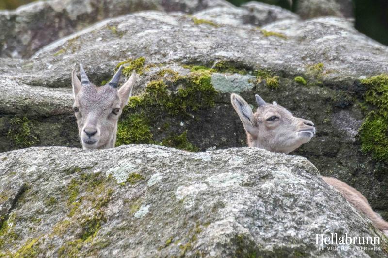 1_Alpine Ibex_Hellabrunn_2019_Daniela Hierl (2)