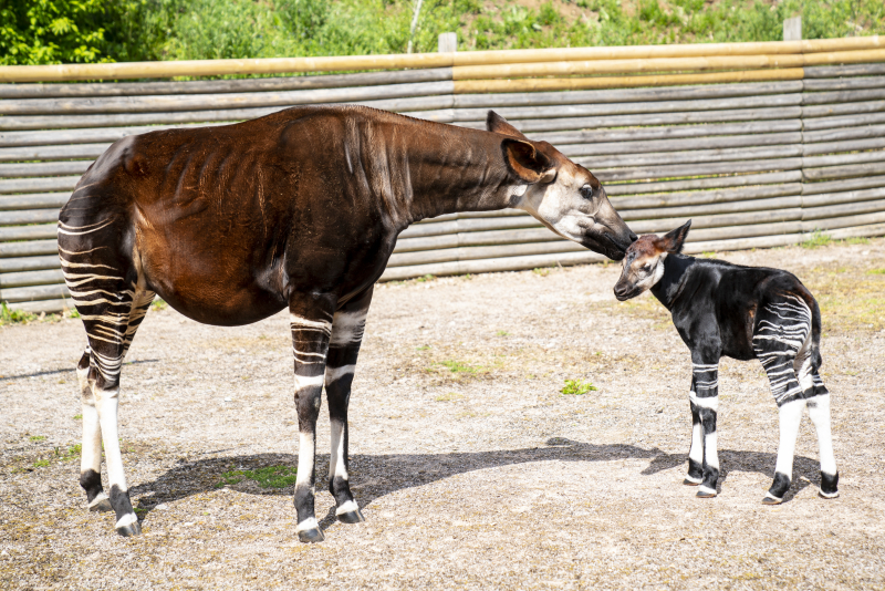 Zoo Photographer - Credit Jason Brown - Okapi Calf (12)