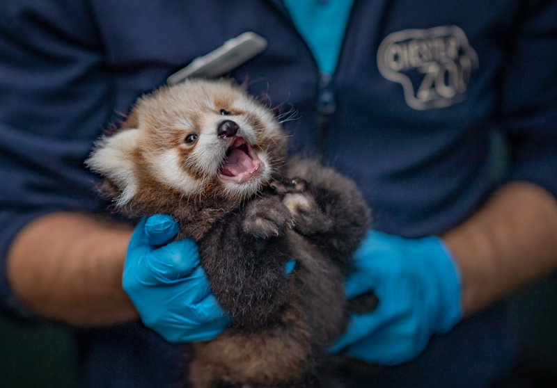 2_Adorable red panda twins born at Chester Zoo have first health check up (4)