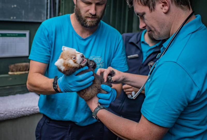 7_Adorable red panda twins born at Chester Zoo have first health check up (8)