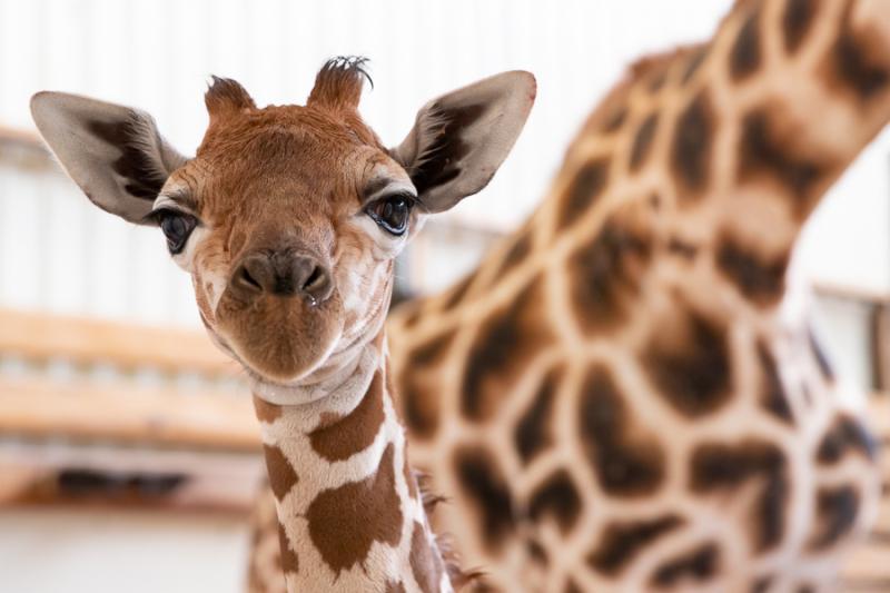 1_2019_05_02 baby giraffe-3