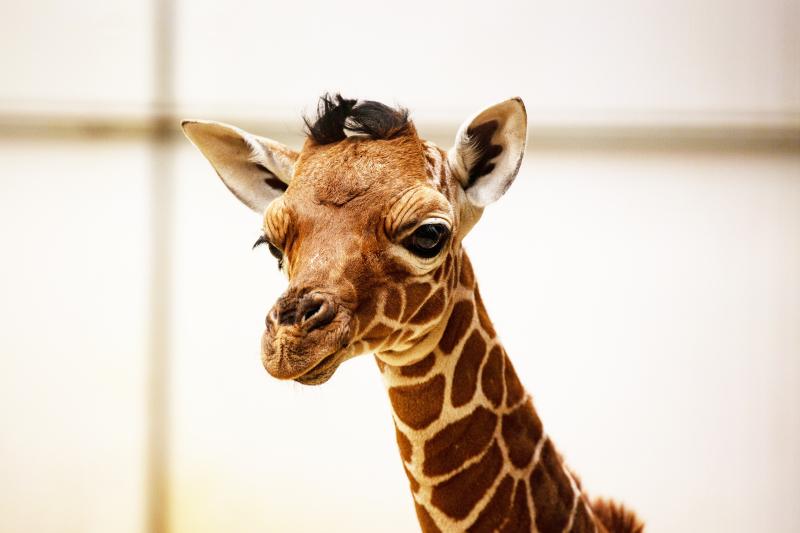 1_Newborn giraffe at ZSL Whipsnade Zoo (c) ZSL (2)