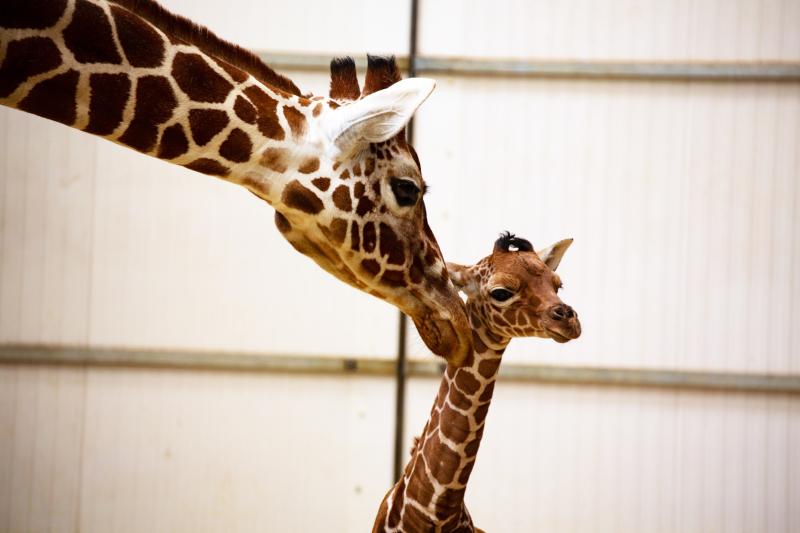 2_Newborn giraffe at ZSL Whipsnade Zoo (c) ZSL (1)