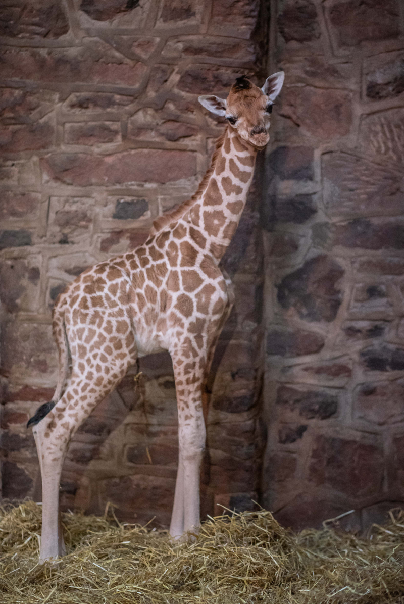 4_Look who just dropped in! Cameras capture the incredible moment a rare giraffe calf is born at Chester Zoo  (2)