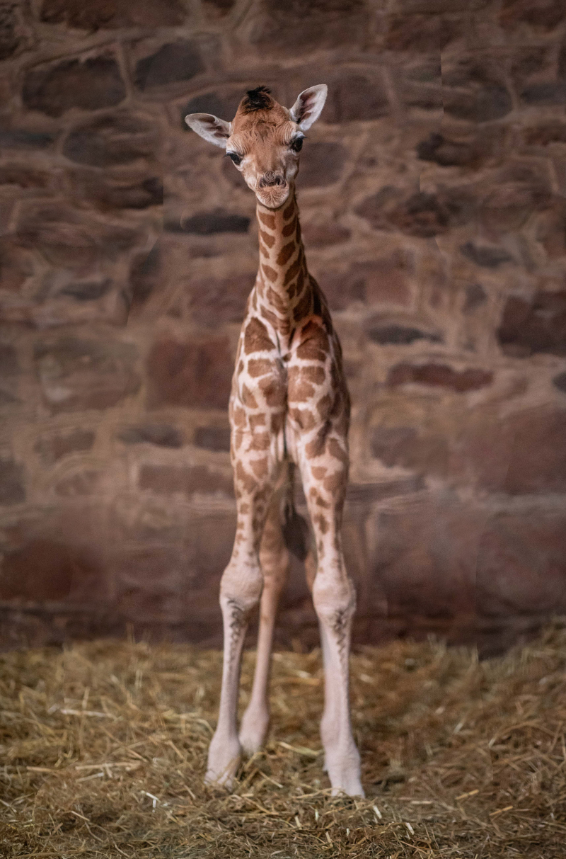 5_Look who just dropped in! Cameras capture the incredible moment a rare giraffe calf is born at Chester Zoo  (3)