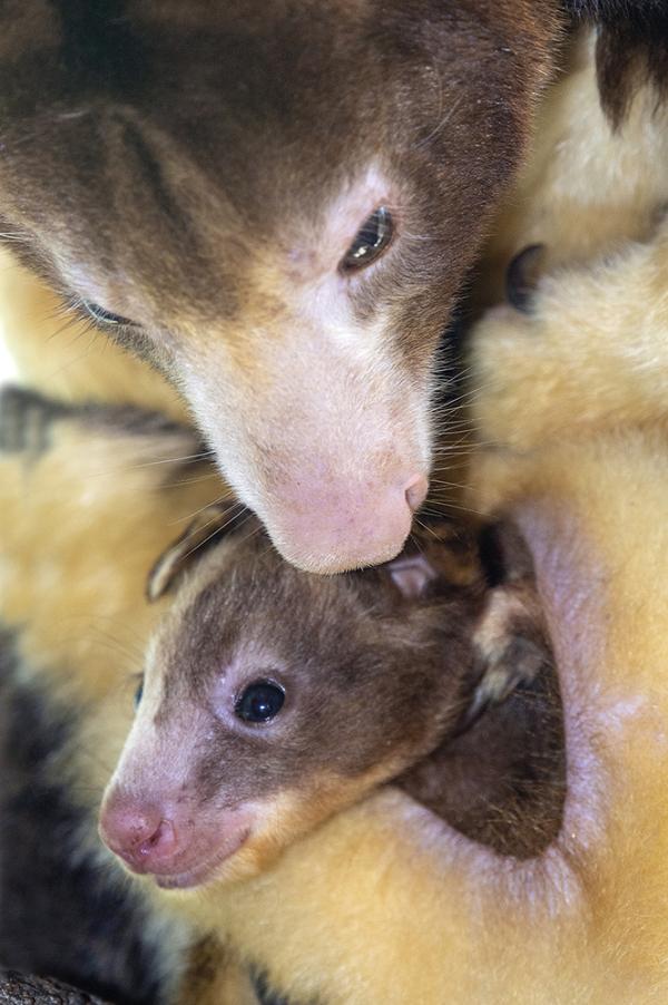 Tree Kangaroo Joey Makes Itself Known at Zoo Miami - ZooBorns