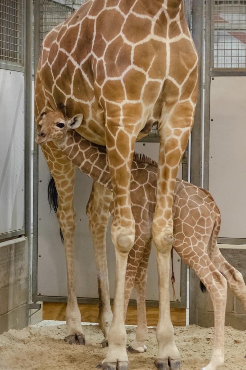 9_20190515_Giraffe_Newborn01