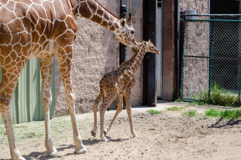 10_20190515_Giraffe_Newborn09