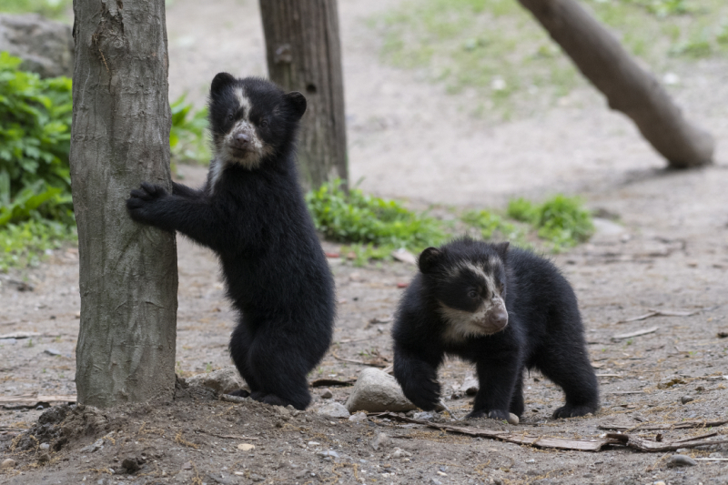 8_Julie Larsen Maher_9221_Andean Bear and Cubs_QZ_05 10 19