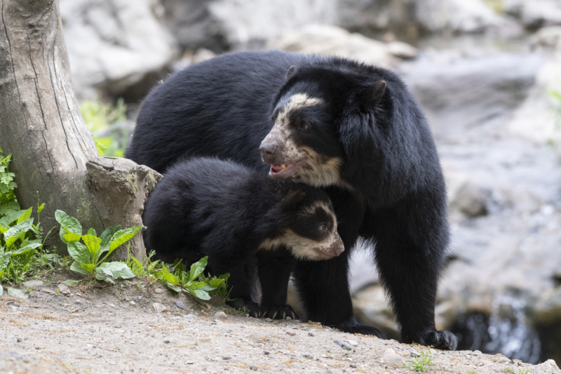 12_Julie Larsen Maher_9293_Andean Bear and Cubs_QZ_05 10 19