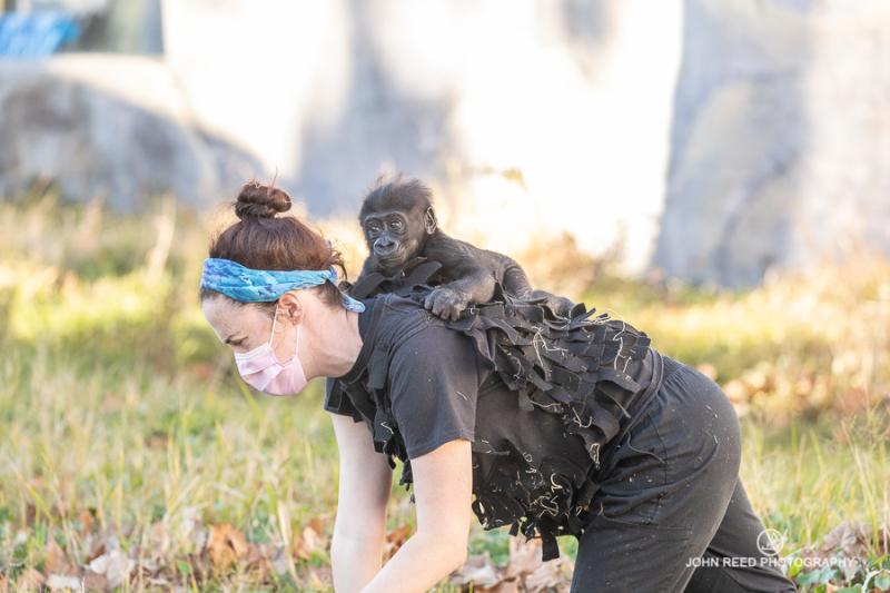 Keeper gorilla walking