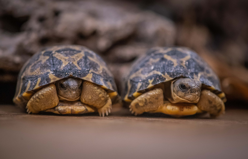 1_Tiny rare tortoises from Madagascar hatch at Chester Zoo (17)