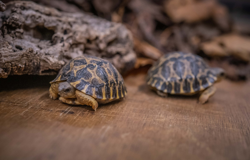 4_Tiny rare tortoises from Madagascar hatch at Chester Zoo (18)