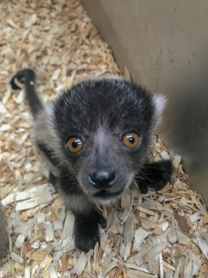 2_ruffed lemur Lynde Nunn