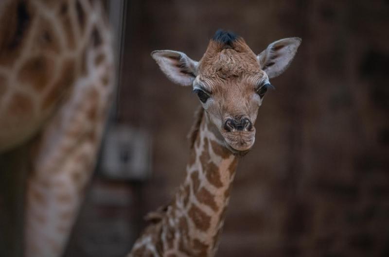 Giraffe Zooborns
